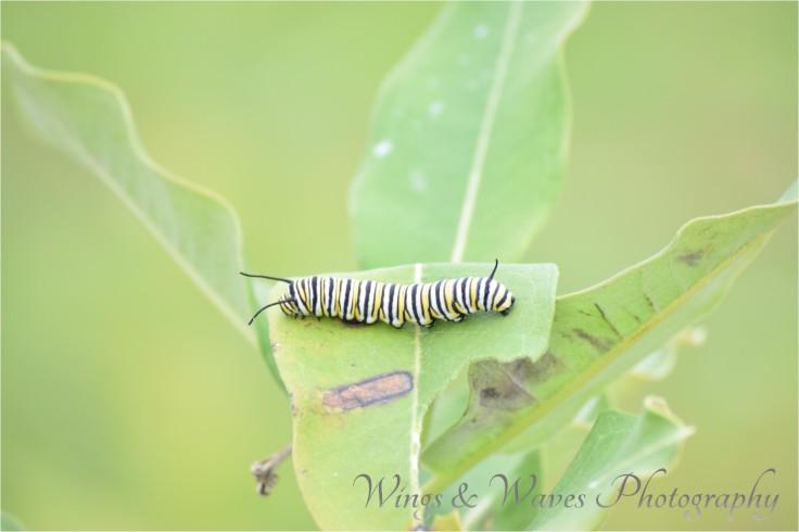 Monarch wanna be