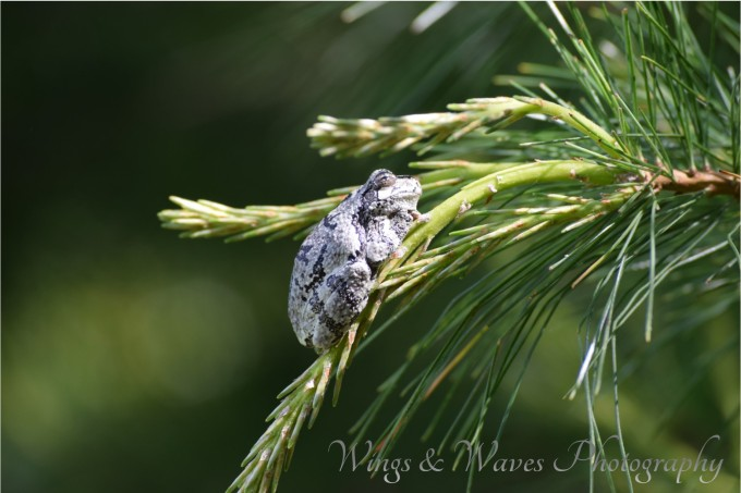 Tree frog on pine