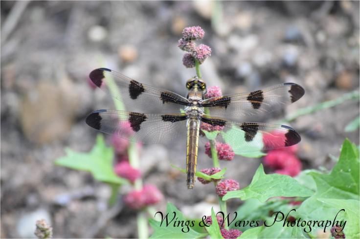 Twelve Spotted Skimmer Female
