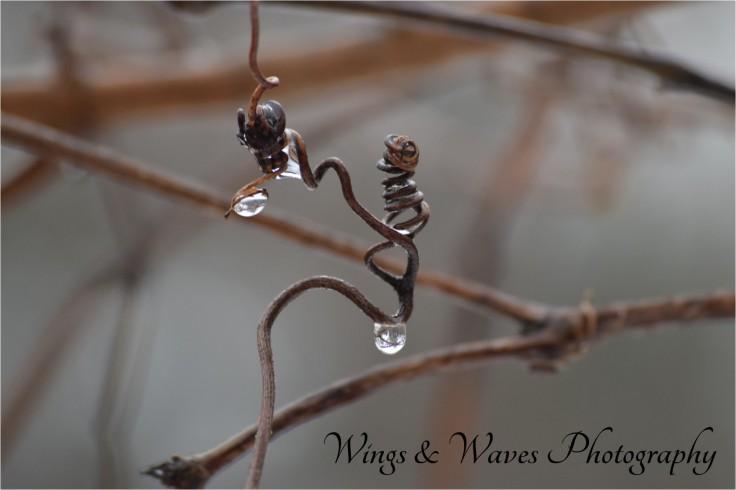 Grape Vine with Raindrops