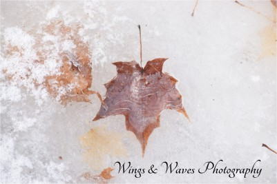 Icy Maple Leaf