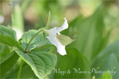 White Trillium with Moth