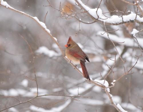 Christmas Lady Cardinal