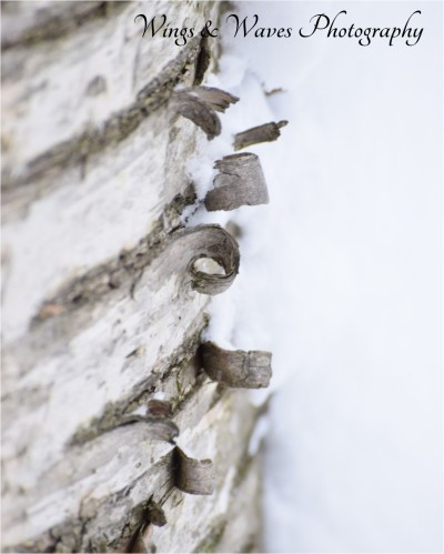 Curly Bark with Snow