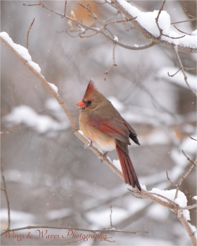 Lady Cardinal in Winter