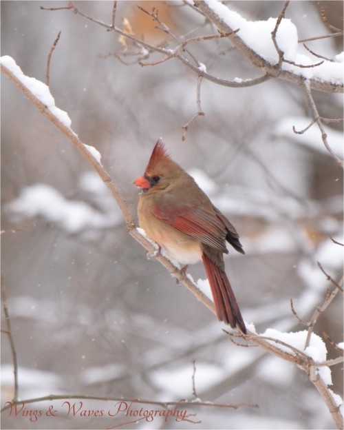 Lady Cardinal in Winter