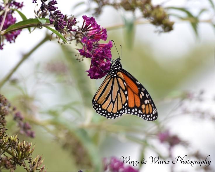 Monarch on a Butterfly Bush
