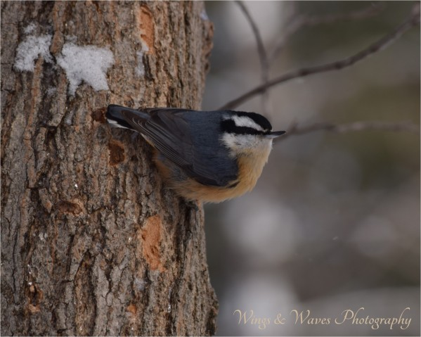 Red Bellied Nuthatch