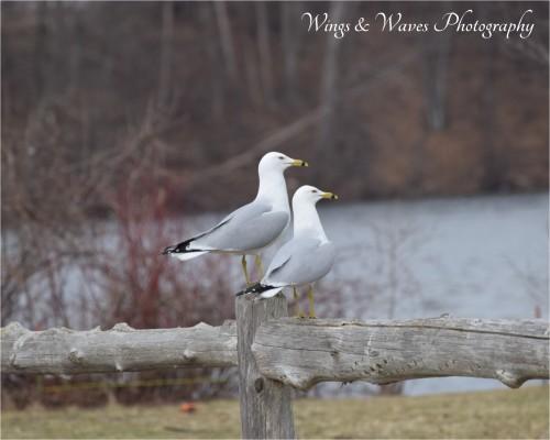 Ring bill gulls