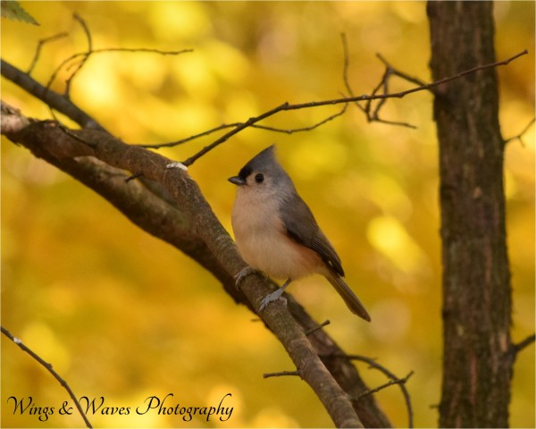 Tuft Titmouse in Autumn