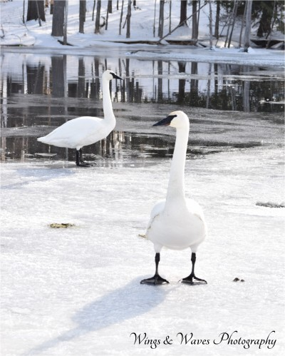 Two Trumpeters on Ice