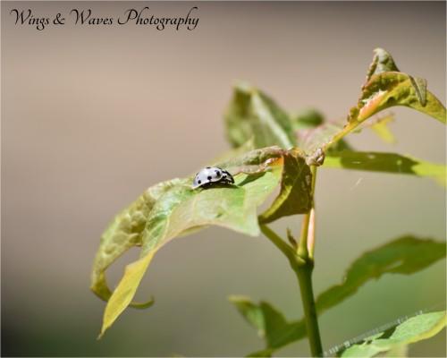 White Lady Bug